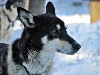 Alpine - Has been on the winning team in the John Beargrease sled dog race.